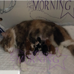 Cattery Morningstar Litter A